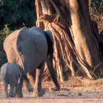Mfuwe Elephants For Dinner