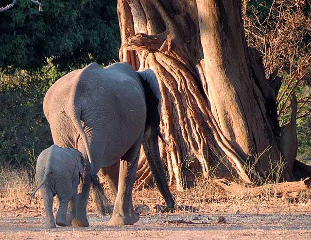 Mfuwe-elephants-mother-and-baby-Wildmoz.com