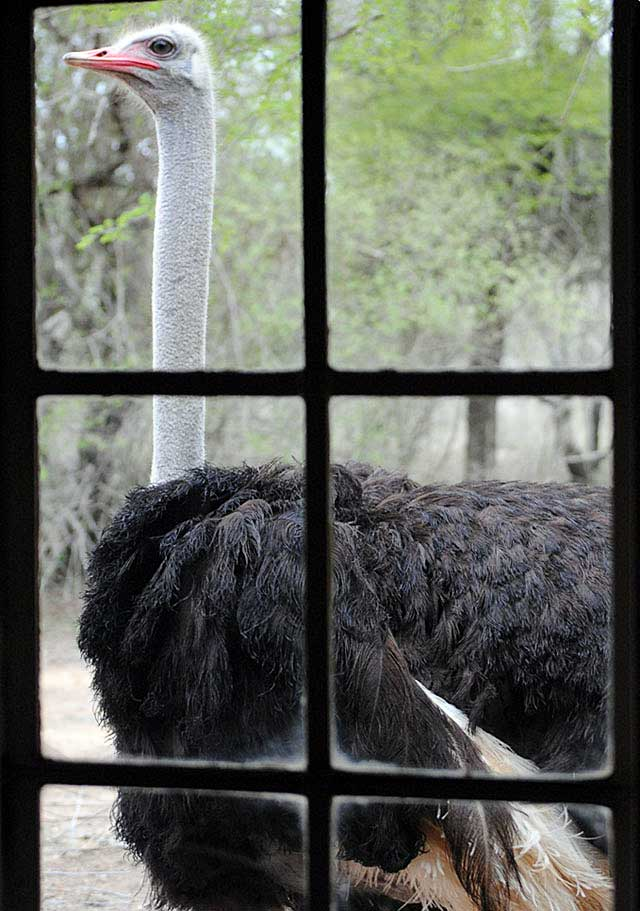 Ostrich-male-knocking-at-the-window-Wildmoz.com