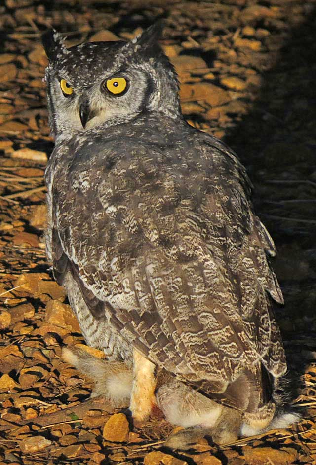 Spotted-Eagle-Owl-Wildmoz.com