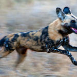 Three Legged African Wild Dog