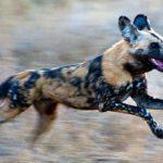 Three Legged African Wild Dog