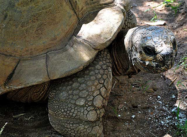 Tommy-Galapagos-Tortoise-Harare-Wildmoz.com