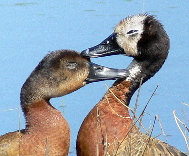White-Faced-Whistling-Duck-Juvenile-Wildmoz.com