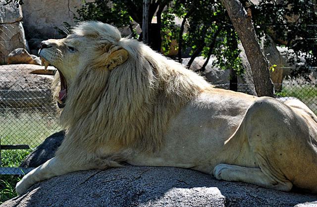 White-Lion-Lion-and-Cheetah-Park-Wildmoz.com