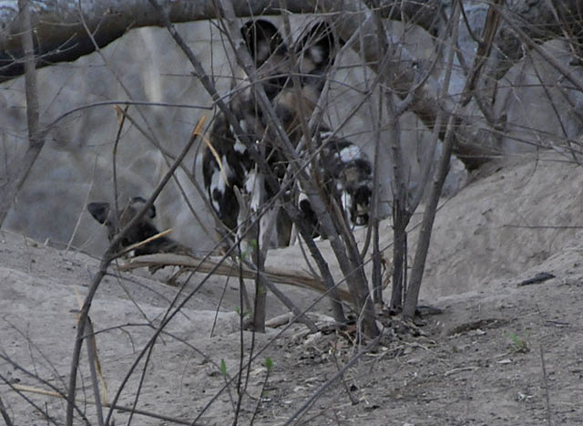 African-wild-dog-pups-den-at-dusk-Wildmoz.com