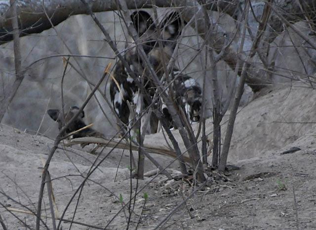 African-wild-dog-pups-den-at-dusk-Wildmoz.com