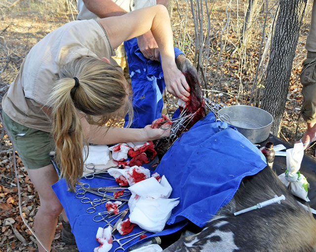 Wild-dog-operation-clamping-all-the-blood-veins-Wildmoz.com