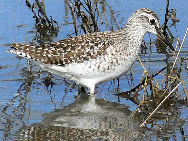 Wood-Sandpiper-Wildmoz.com