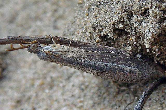 Antlion-Nymph-fly-Wildmoz.com