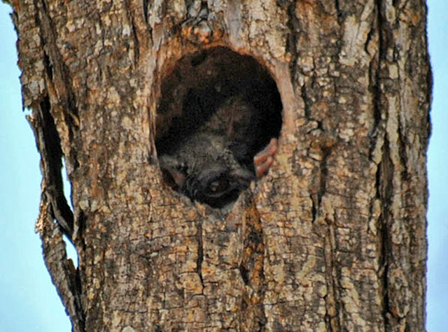 Bush-baby-in-woodpecker-hole-Wildmoz.com