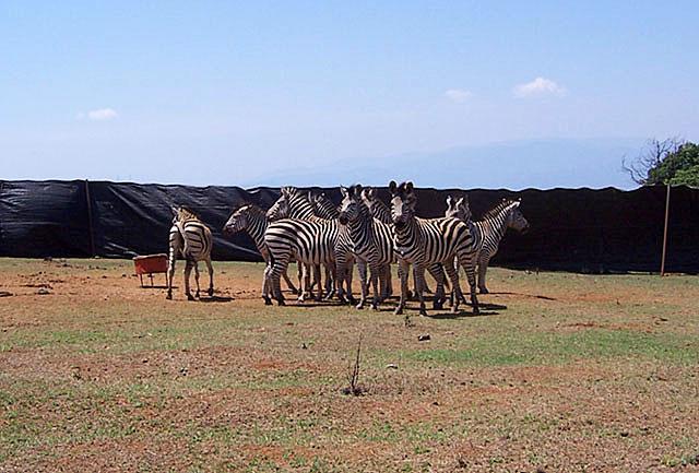 Passive-boma-zebra-capture-Wildmoz.com