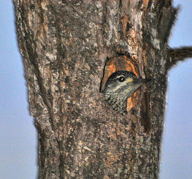 Woodpecker-in-tree-hole-Wildmoz.com
