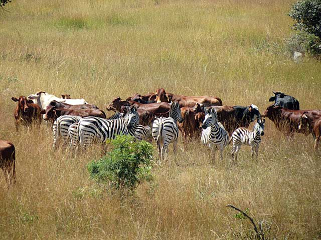 Zebra-friends-cattle-Wildmoz.com