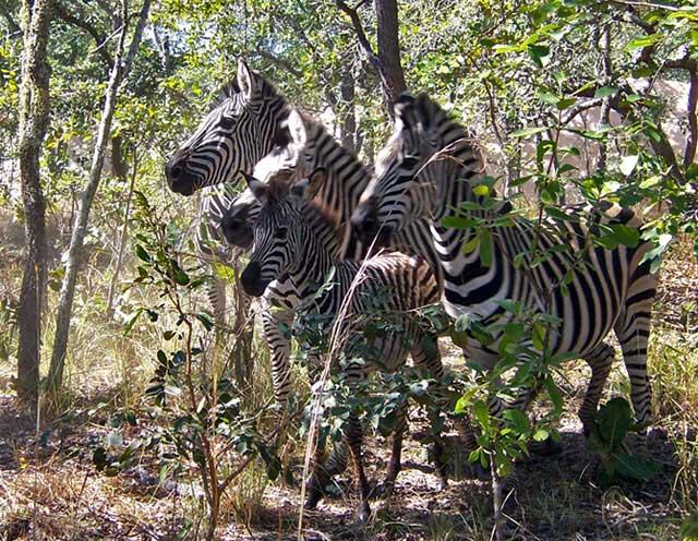 Zebra-on-the-move-Wildmoz.com