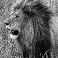 Lion Fight ER