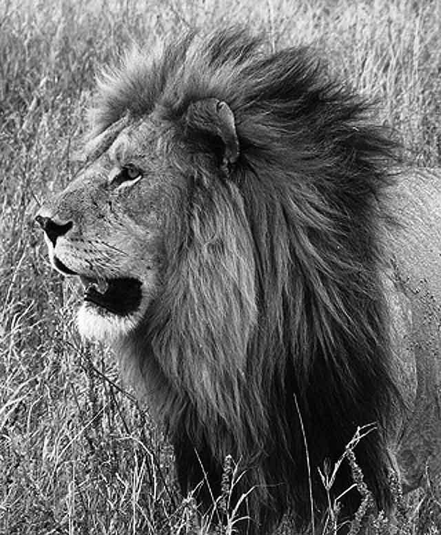 Black-and-White-Lion-Wildmoz.com