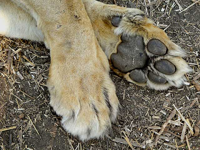 Lion-front-paws-Wildmoz.com