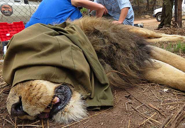Lion-out-cold-Wildmoz.com