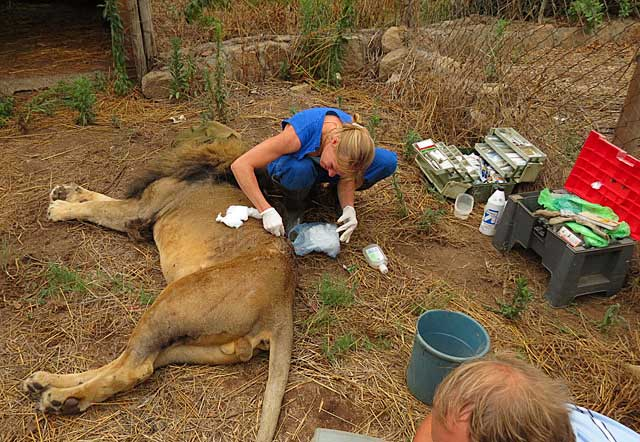 Lion-wound-being-cleaned-up-by-Dr-Jacs-Wildmoz.com