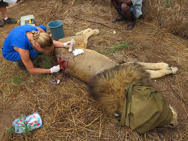 Lion-wound-spine-Wildmoz.com
