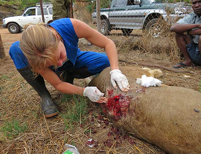 Lion-spinal-wound-Wildmoz.com
