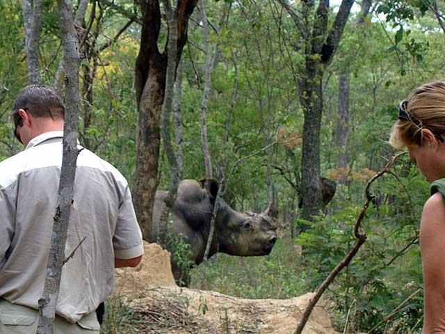 Preparing-rhino-for-vitals-Wildmoz.com