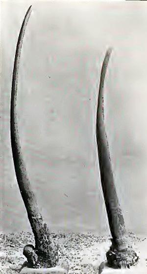 Rhino-Horn-Pair-Wildmoz.com