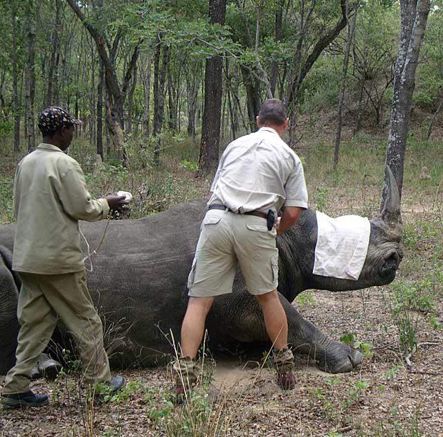 Rhino-blindfold-fitted-Wildmoz.com
