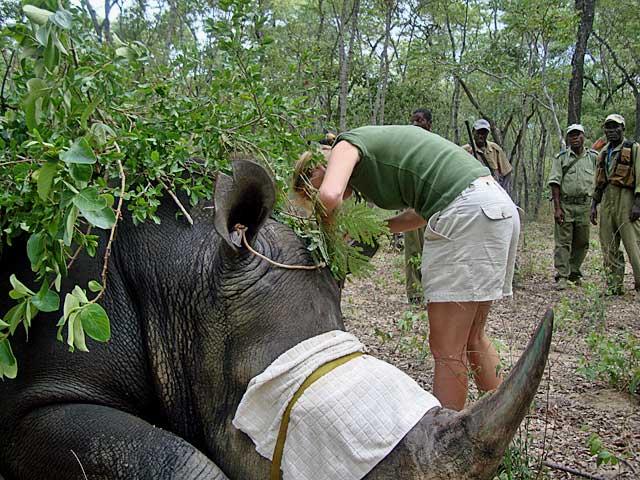Rhino-blood-sample-Wildmoz.com