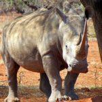 Rhino Capture Zimbabwe