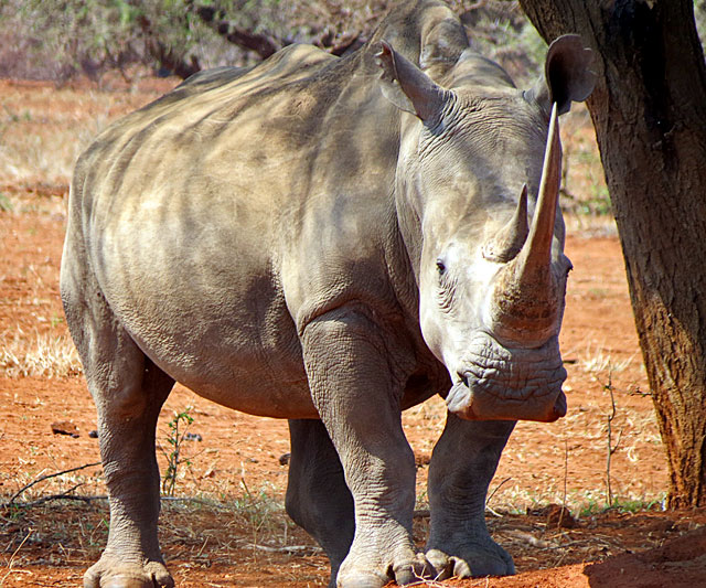 White-Rhino-Ceratotherium-simum-simum-Wildmoz.com