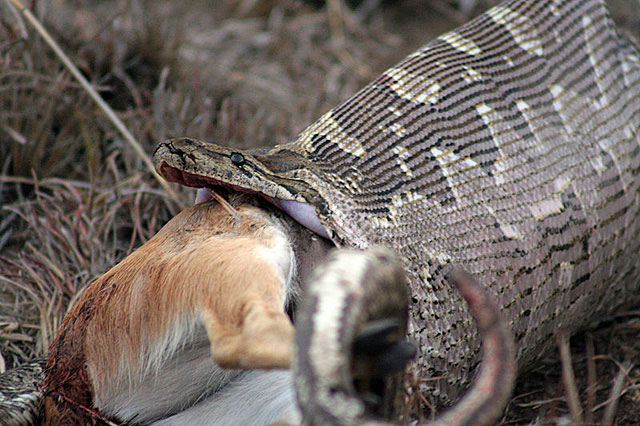 Rock-python-eating-antelope-Wildmoz.com