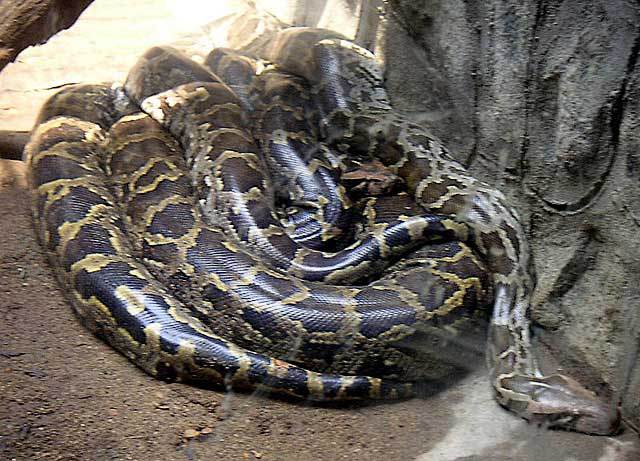 Two-african-rock-pythons-Wildmoz.com