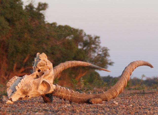 Kruger-starvation-Wildmoz.com