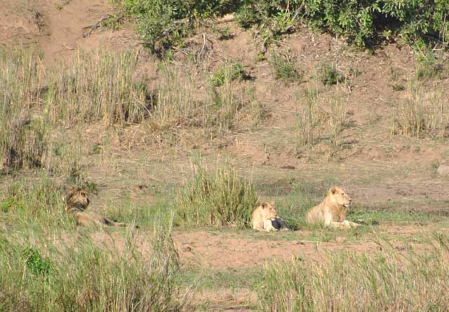 Kruger-Lions-Waiting-for-Dinner-Wildmoz.com