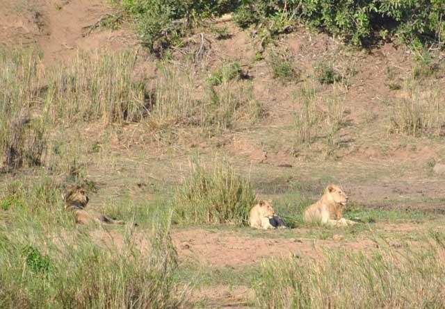 Kruger-Lions-Waiting-for-Dinner-Wildmoz.com