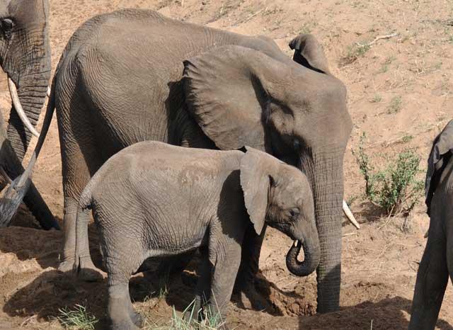Kruger-Starvation-Elephant-Water-Hole-Wildmoz.com