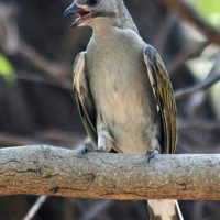 Hungry Hunter and the Honeyguide