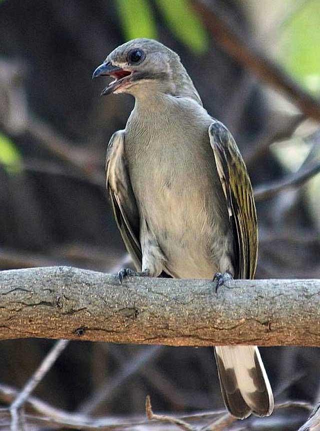 Lesser-Honeyguide-Kruger-Park-Wildmoz.com