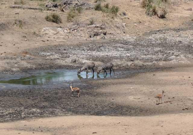 Waterbuck-and-Impala-thirst-Wildmoz.com