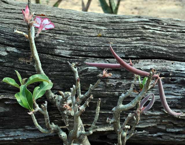 impala-lily-sabi-star-seed-pods-wildmoz.com