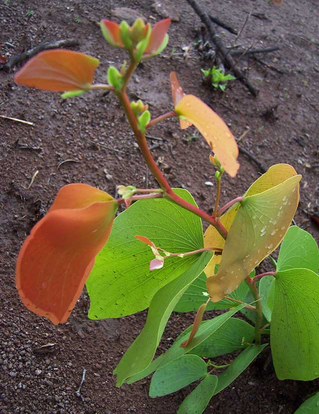 mopane-flowers-and-new-leaves-wildmoz.com