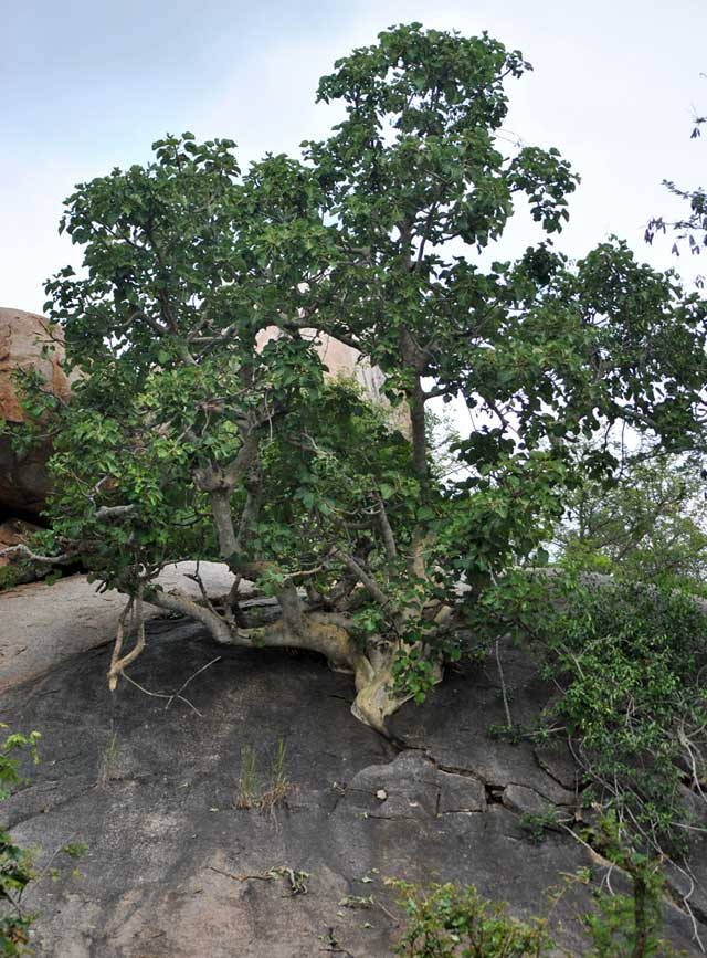 rock-vig-large-leaved-kruger-park-wildmoz.com