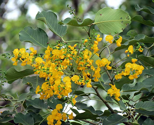 round-leaved-teak-flowers-kruger-park-wildmoz.com