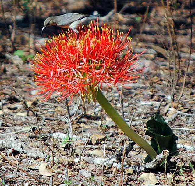 snake-lily-and-sunbird-kruger-park-wildmoz.com