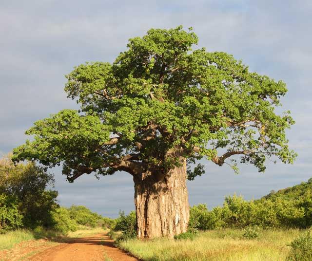 baobab-tree-wildmoz.com