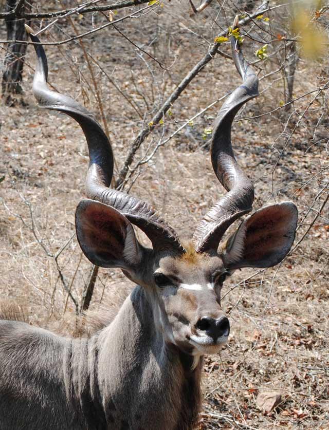 a-kudu-called-spot-wildmoz.com