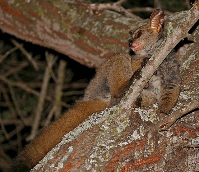greater-bushbaby-branch-wildmoz.com