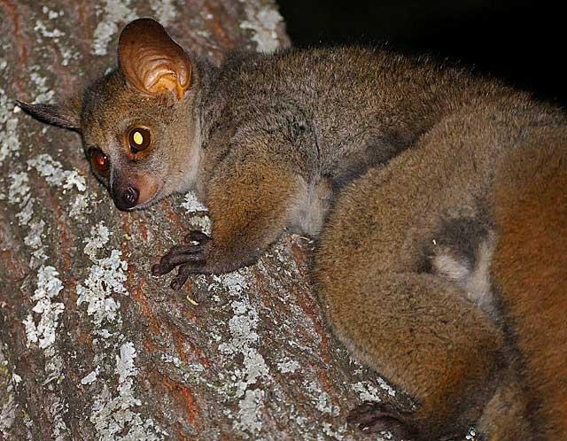 greater-bushbaby-tree-wildmoz.com